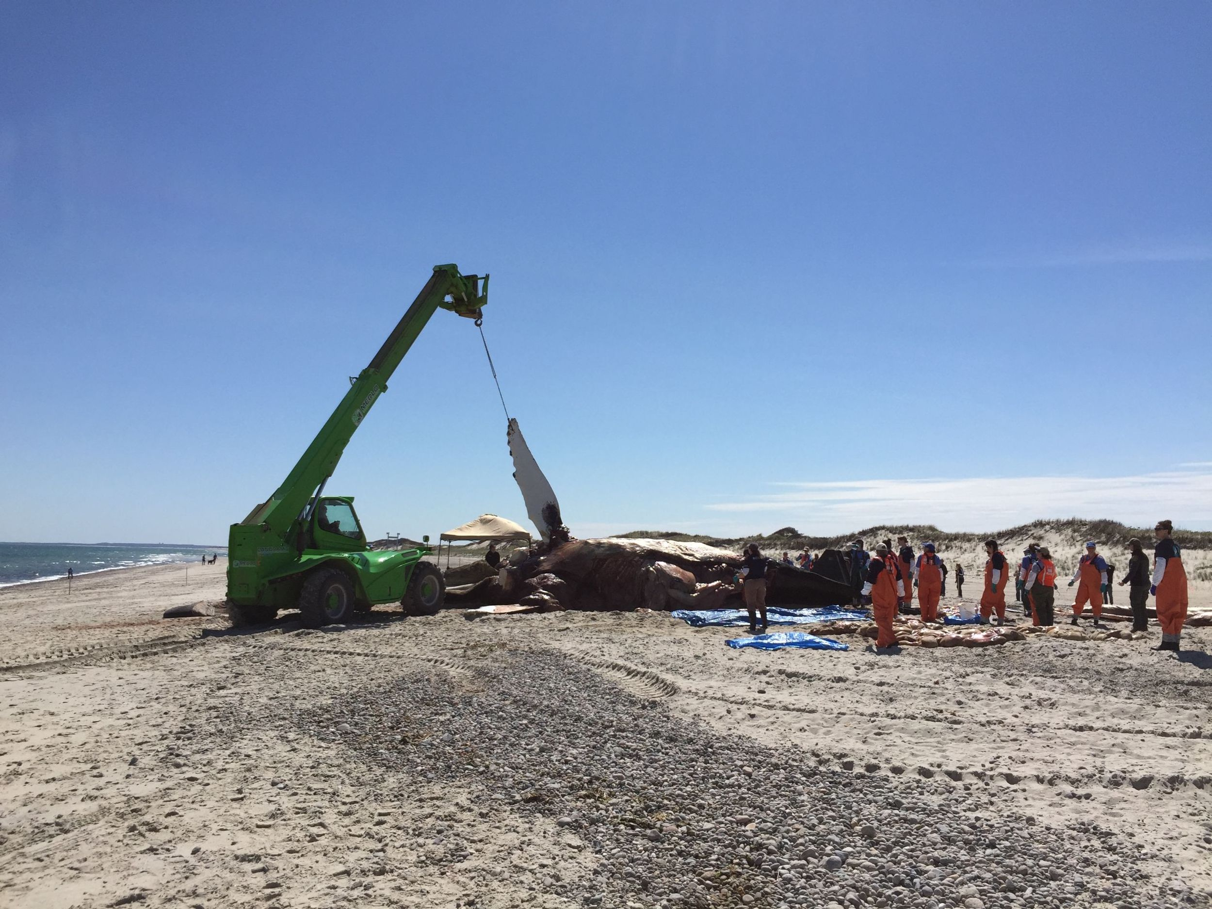 Workers move Vector the humpback whale on the beach with a crane